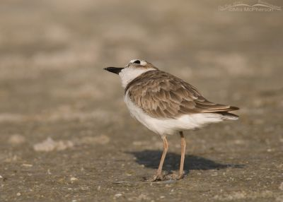 Adult Wilson's Plover with an eye on the sky