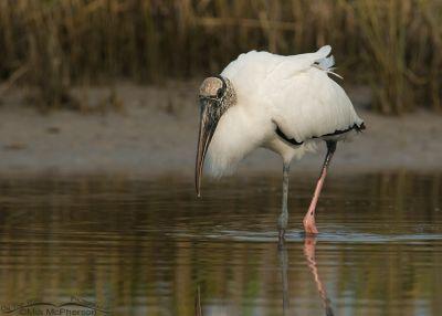 Hunting Wood Stork