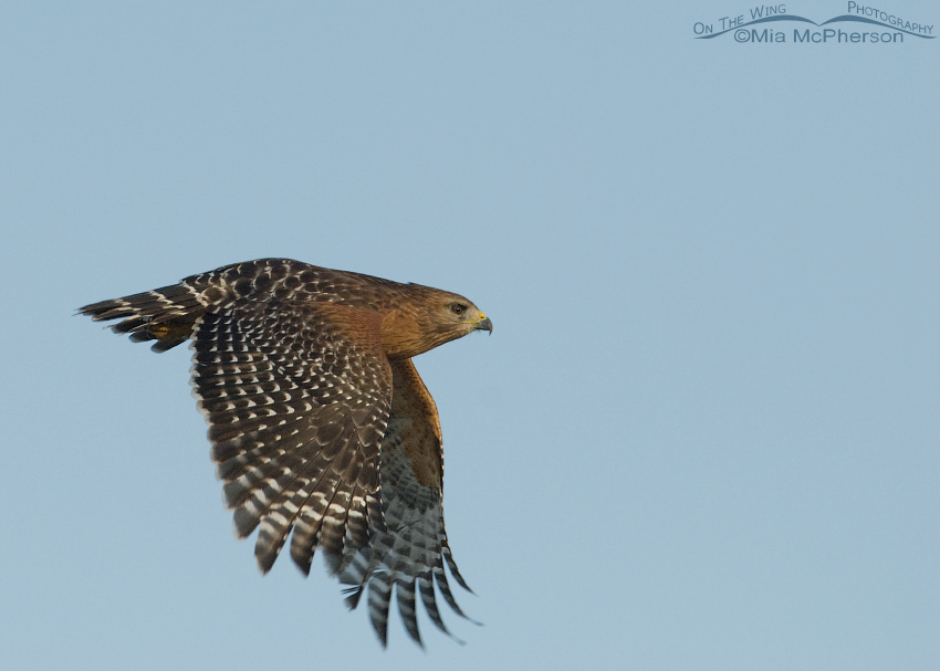 Red-shouldered Hawk Images