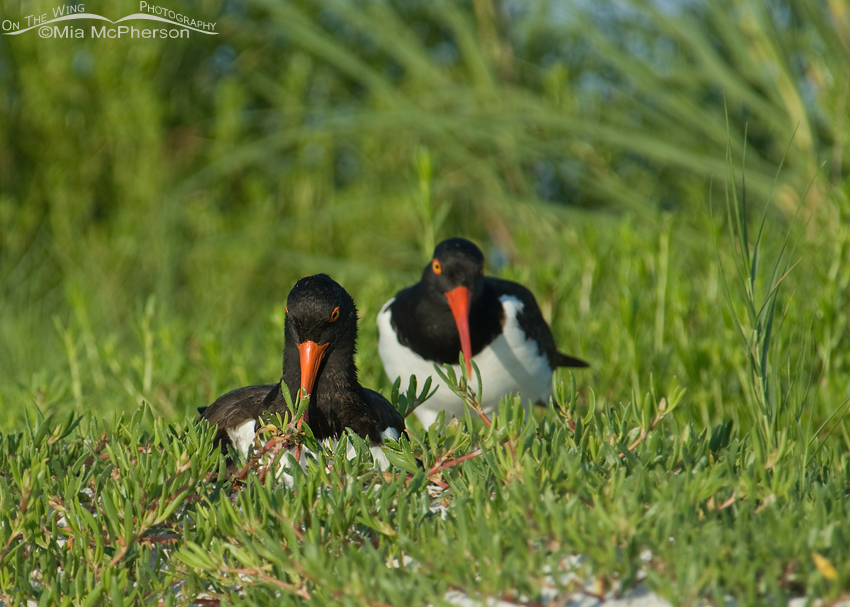 American Oystercatchers at their nesting site
