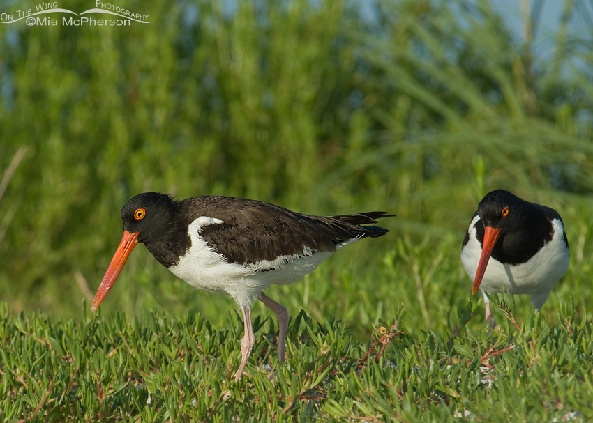 One Oystercatcher leaving the nest