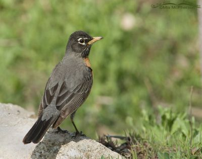 American Robin near the Jordan River