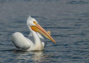 American White Pelican in Salt Lake County, Utah