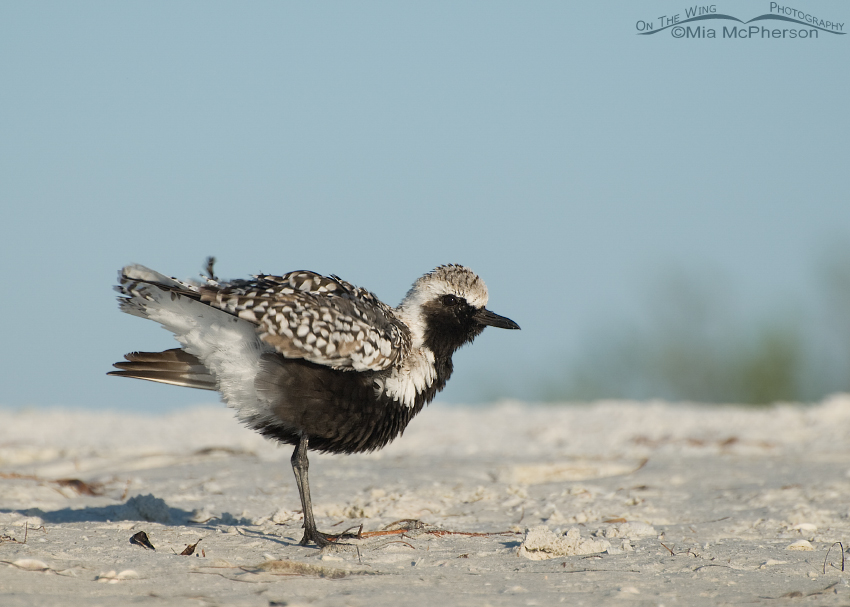 Black-bellied Plover in breeding plumage