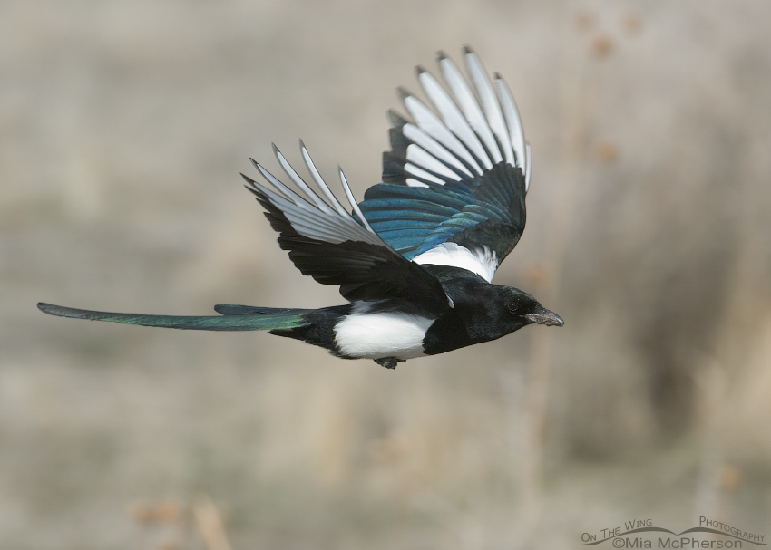 Black-billed Magpie flying towards its nest