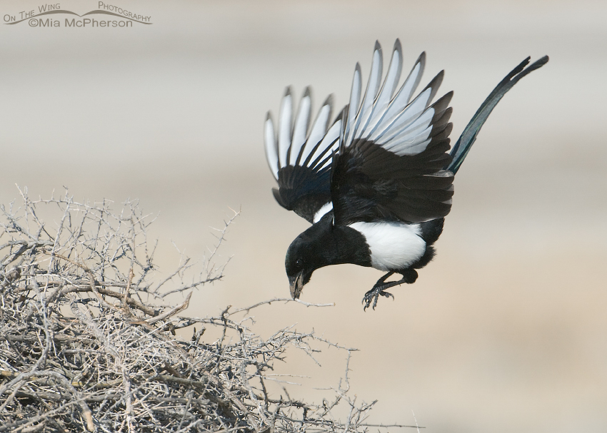 Black-billed Magpie with a twig