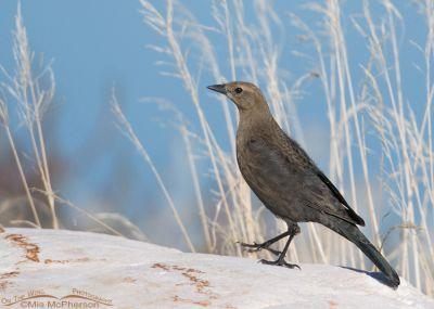 Brewer's Blackbird female taking a stroll