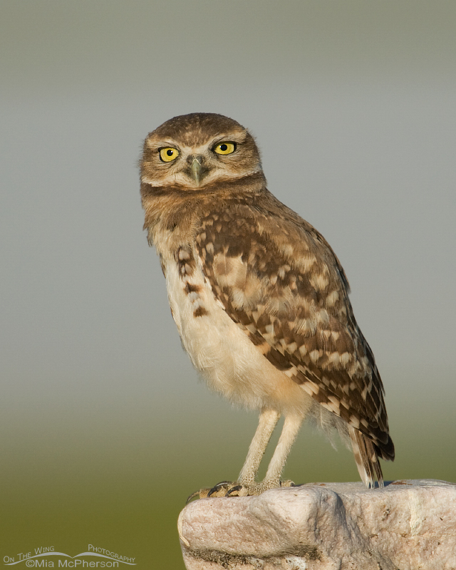 Burrowing Owl juvenile on the Antelope Island causeway