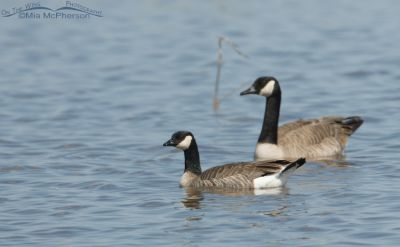 Cackling Goose on the water with a Canada Goose in the background