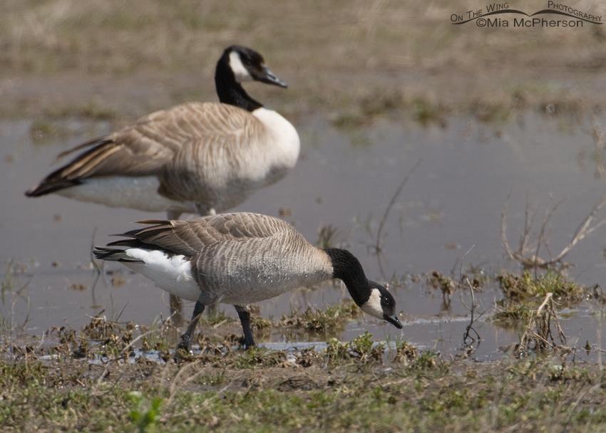 Cackling Goose foraging