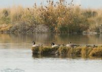 Canada Geese on Glover Pond, Utah