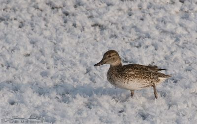 Green-winged Teal hen in ice flowers