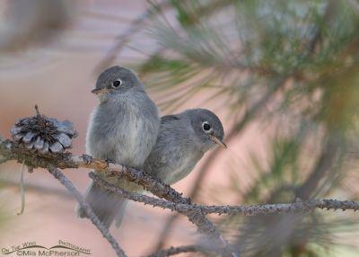 Juvenile Flycatchers