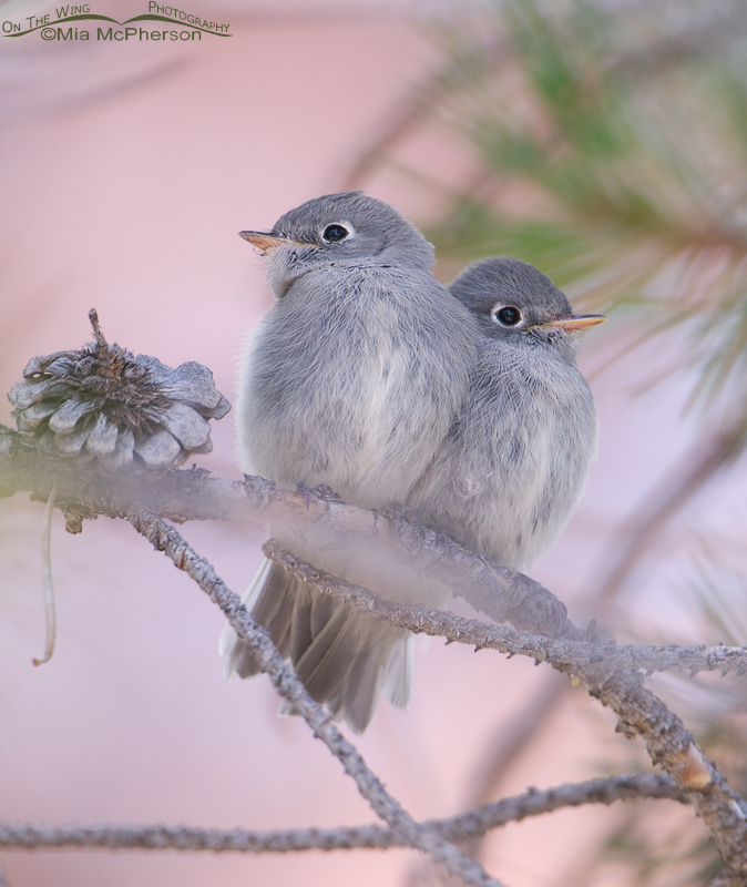 Juvenile Flycatchers in Summit County, Utah