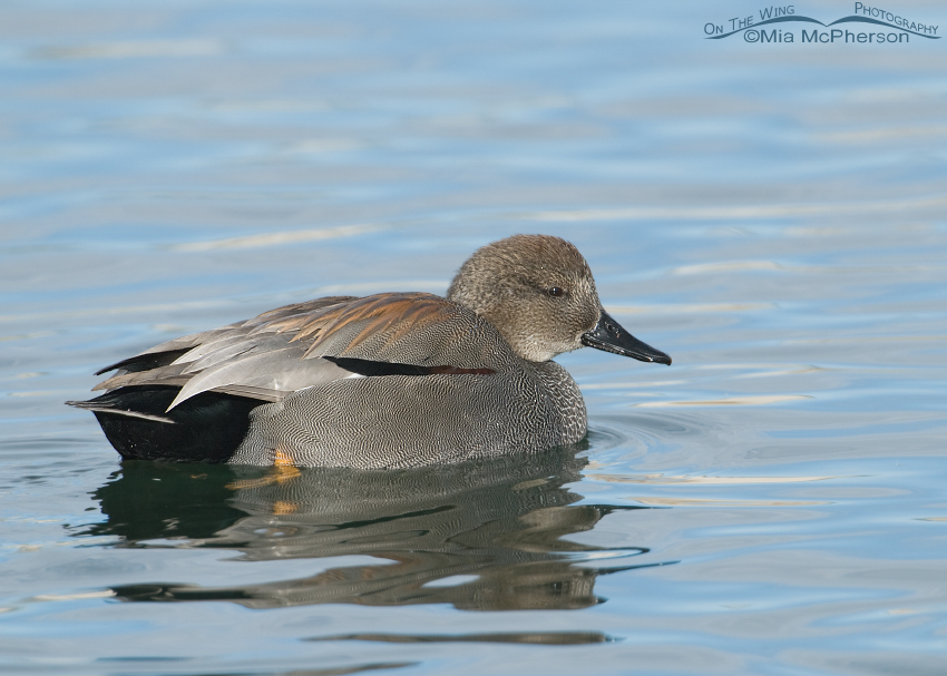 Gadwall in pastel colored water