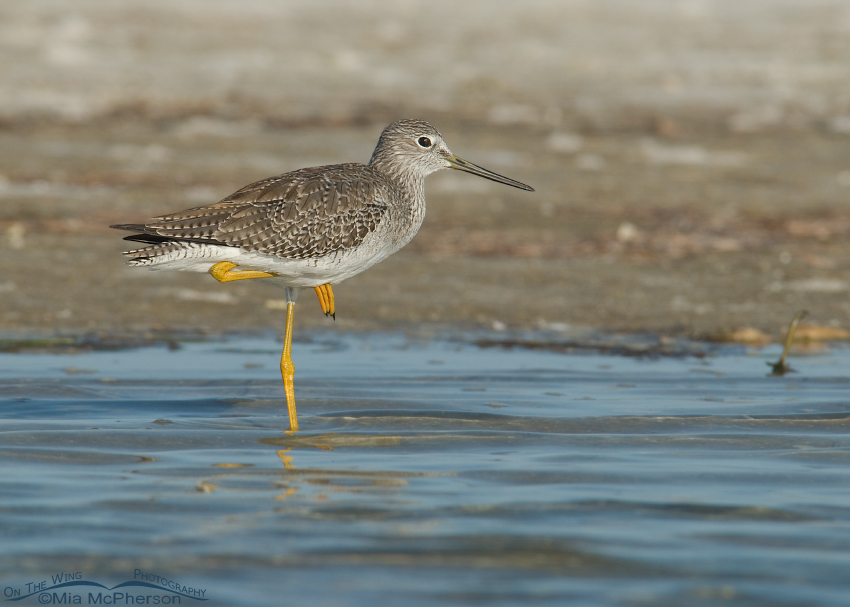 Greater Yellowlegs on one leg