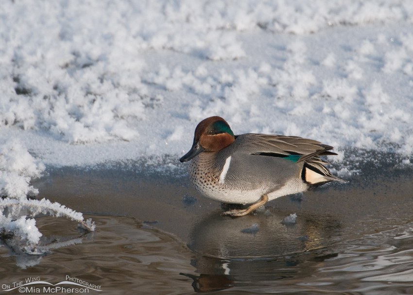 Green-winged Teal Images