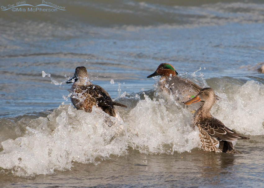 Green-winged Teal with Northern Shovelers in the surf