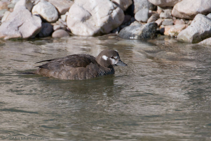 Harlequin Duck hen near a rocky shore