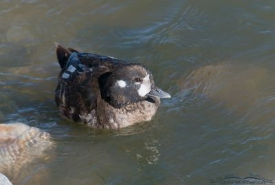 Harlequin Duck male going into breeding plumage