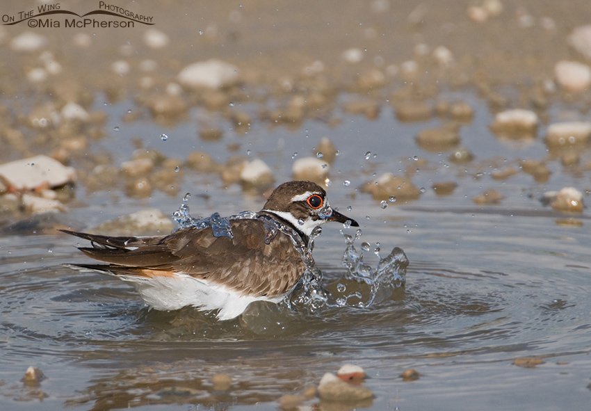 A Killdeer being showered with water