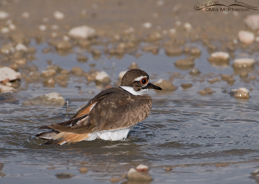 Killdeer taking a bath in a puddle