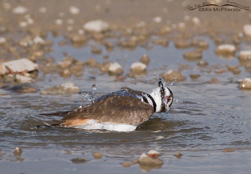 A Killdeer twisting its head while bathing