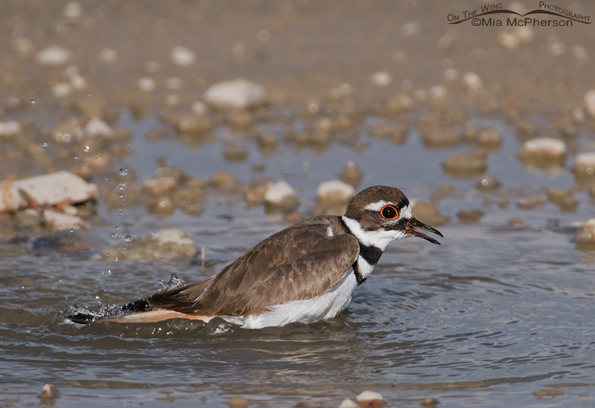 A Killdeer splashing in a puddle