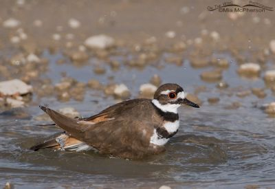 Killdeer cleaning up in a puddle