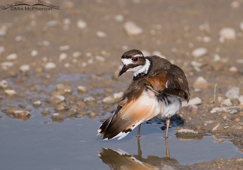 Killdeer tidying up its feathers