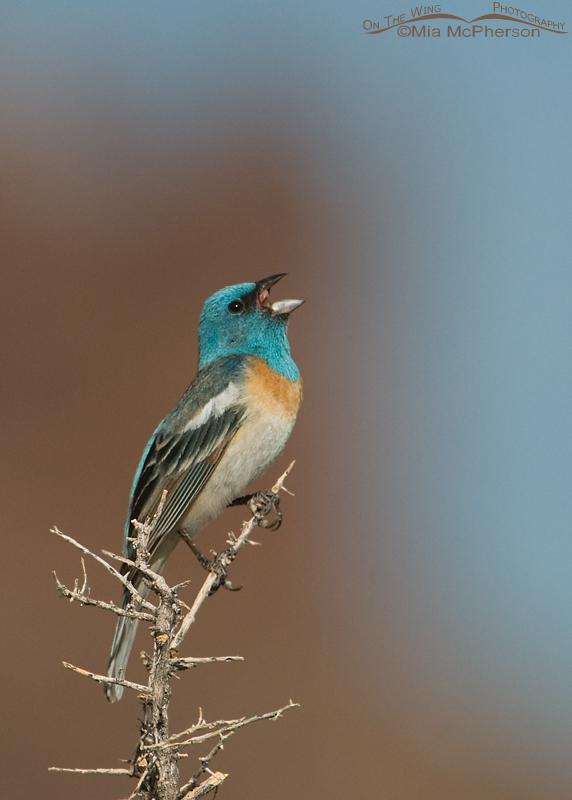 Male Lazuli Bunting singing with canyon walls in the background