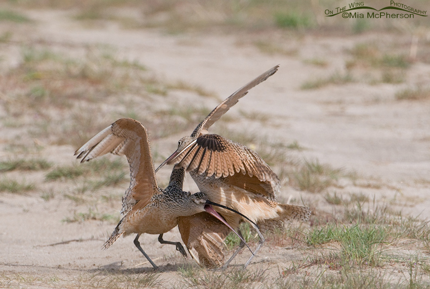 Aggressive behavior in Long-billed Curlews
