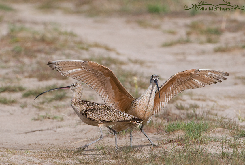Long-billed Curlew Territorial Encounter