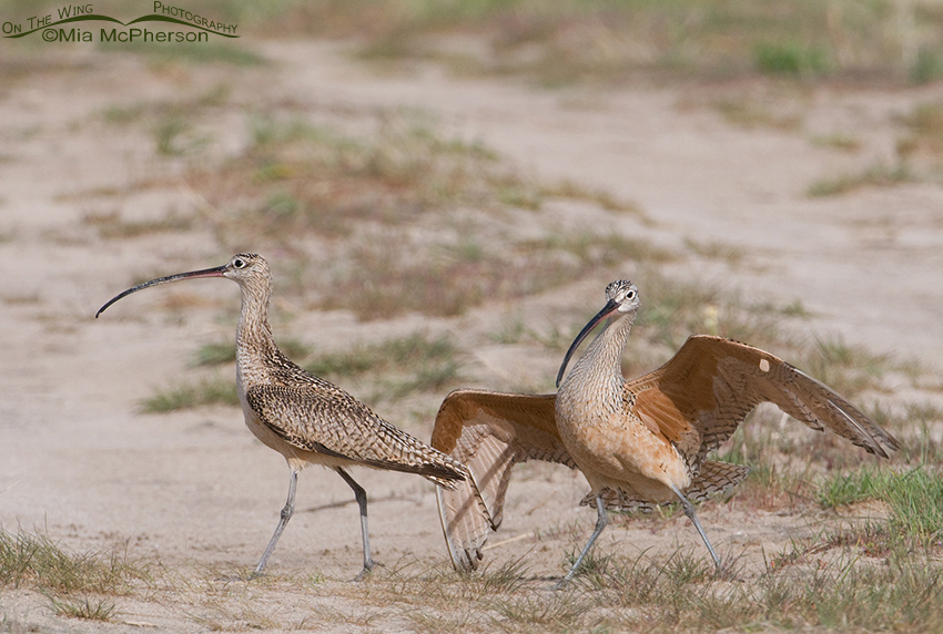 A brief pause in the Long-billed Curlew fight