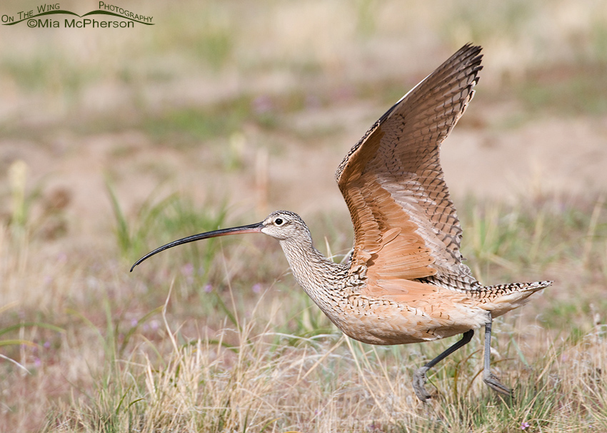 A Long-billed Curlew lifting off from its breeding grounds