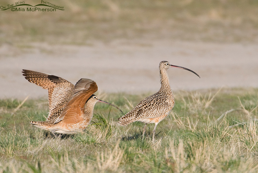 Male Long-billed Curlew shaking the female