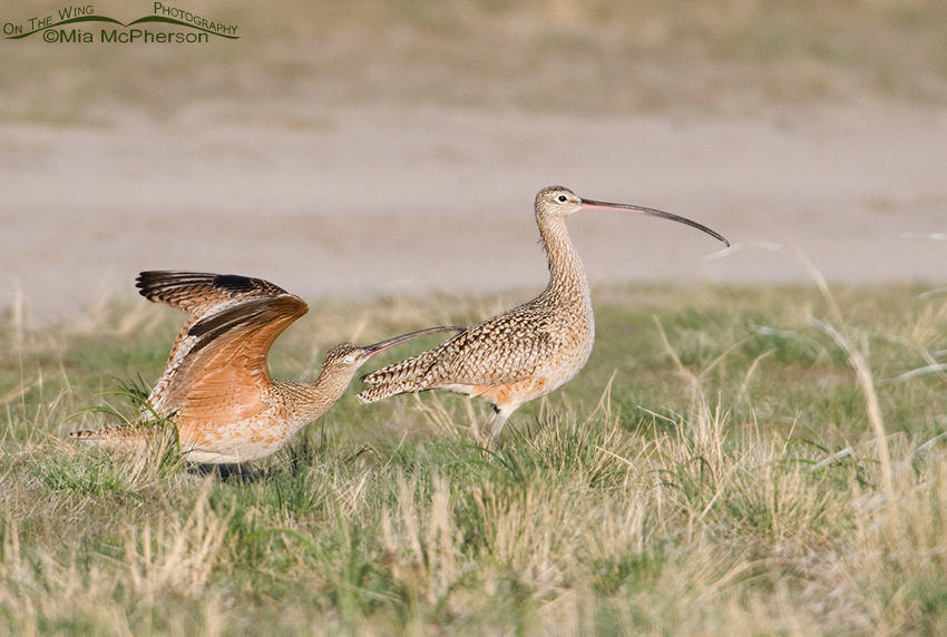 Male Curlew ruffling the female's back feathers