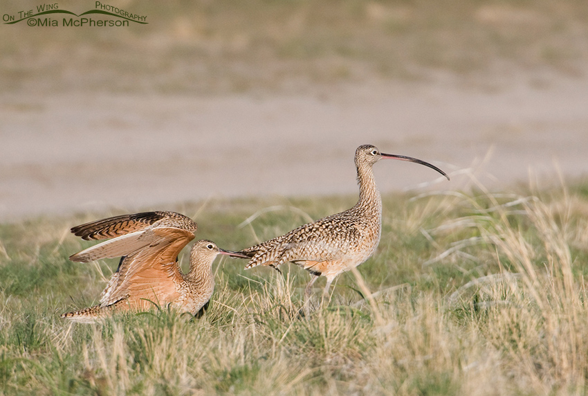 Long-billed Curlew courtship behavior