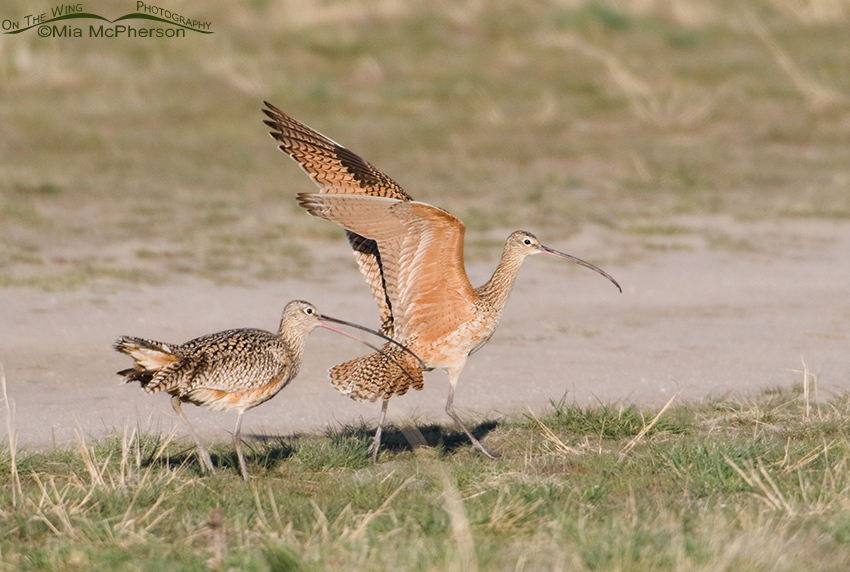 Female Long-billed Curlew showing aggression