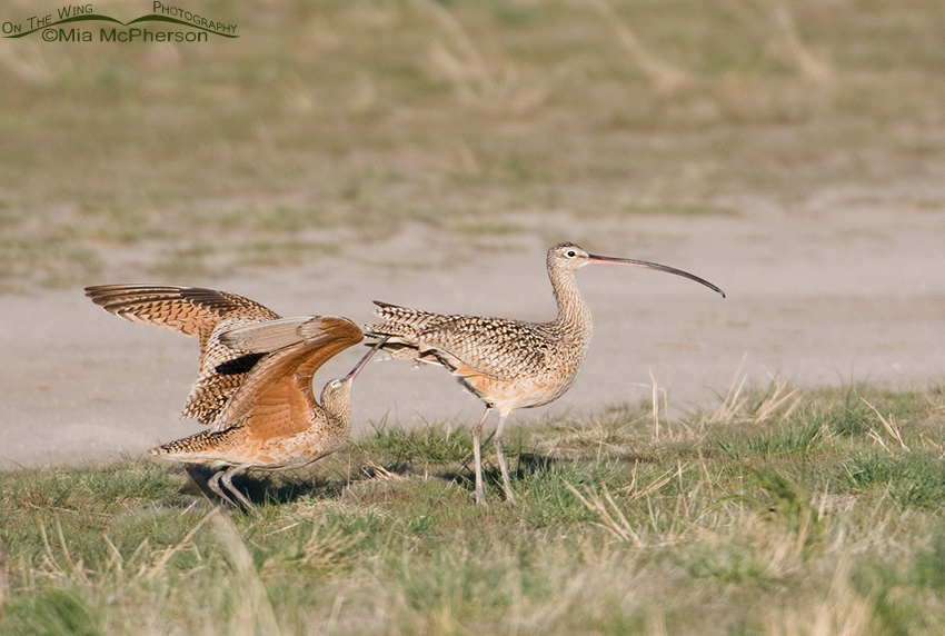 Male Long-billed Curlew Courting