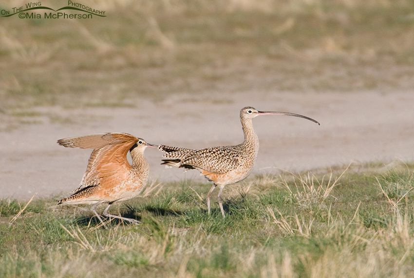 Male Curlew ruffling the tail-coverts of the female