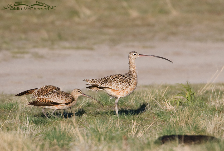 The female Long-billed Curlew ignores the male's advances