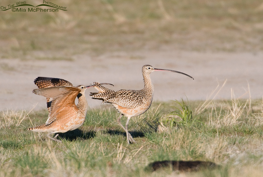 The male Long-billed Curlew gives it one last try
