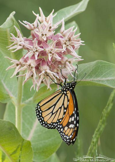 Monarch Butterfly (Danaus plexippus) on a Showy Milkweed (Asclepias speciosa)