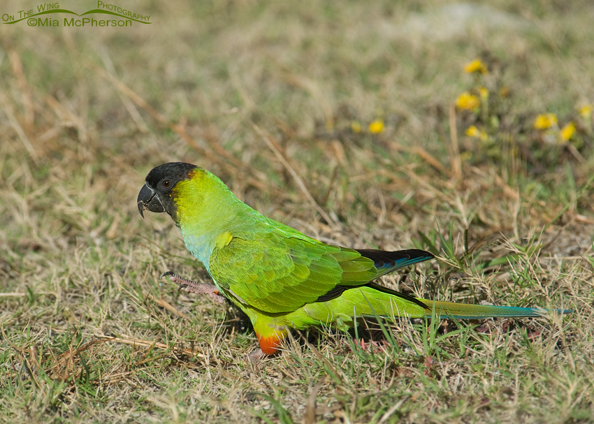 Nanday Parakeet eating a sandspur
