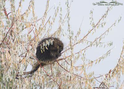 North American Porcupine (Erethizon doratum) in a tree