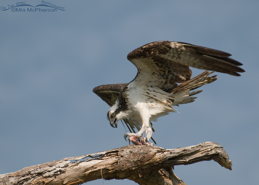 Female Osprey eating a fish on an old snag