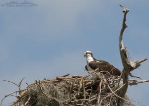 Osprey on nest on Honeymoon Island