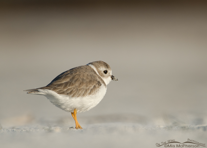 Puffed up Piping Plover in blowing sand