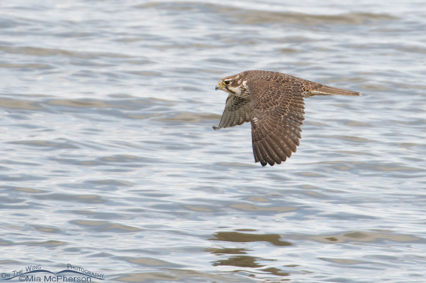 Adult Prairie Falcon flying over the Great Salt Lake